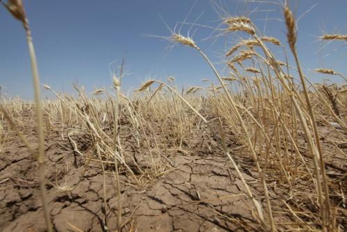 В Австралии гибнет урожай пшеницы из-за засухи